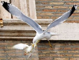 Newpapal Dove Attacked